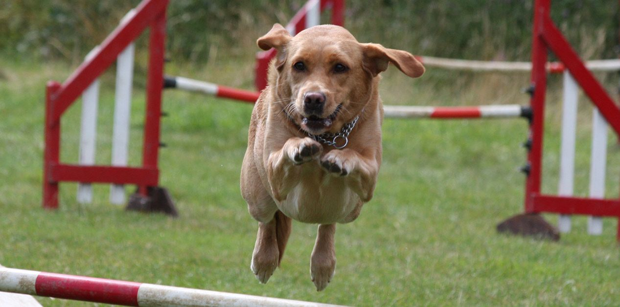 Dog agility classes in leicester paws on dog agility