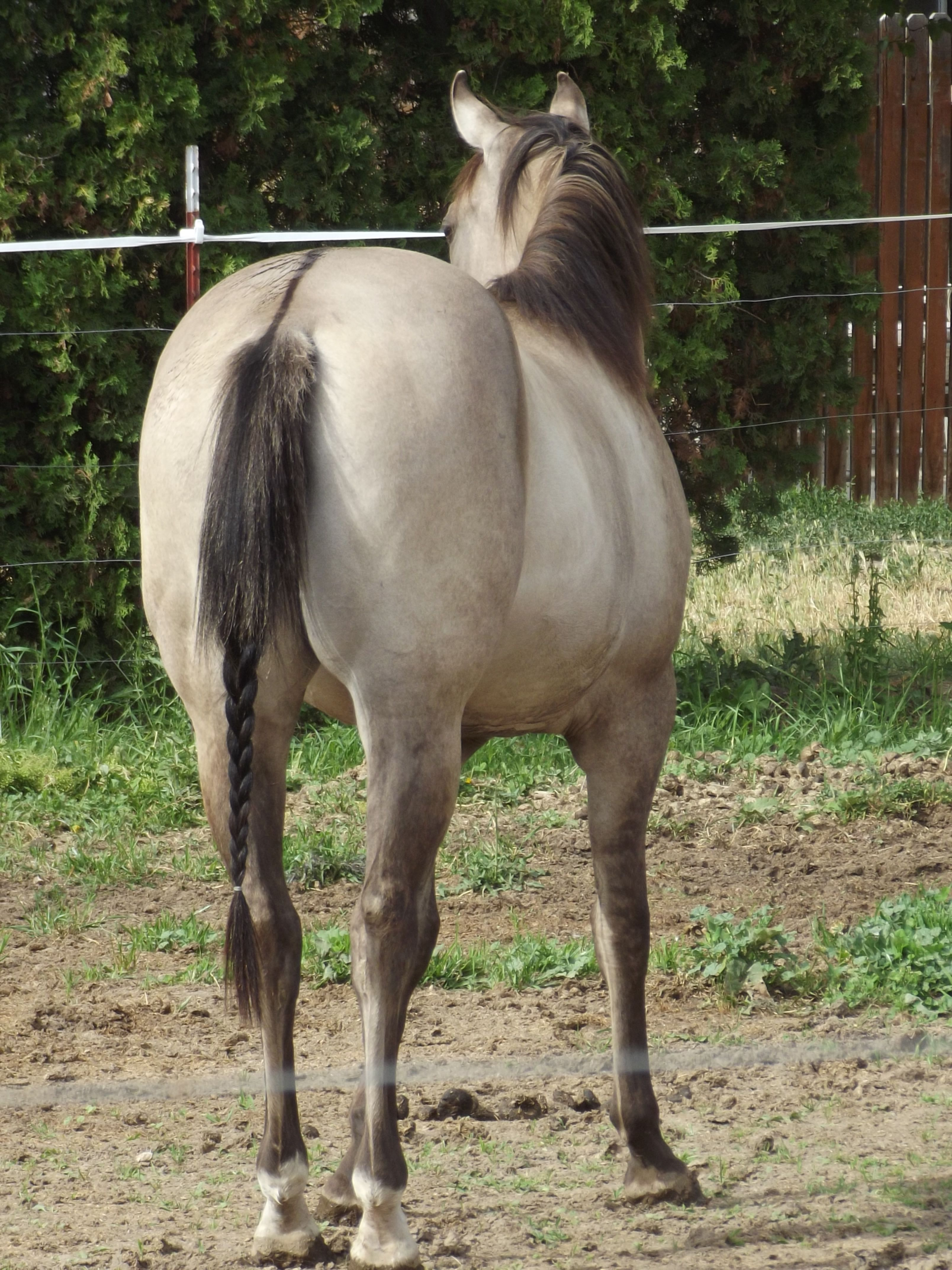 This is Grace My 2 Year Old AQHA American Quarter Horse