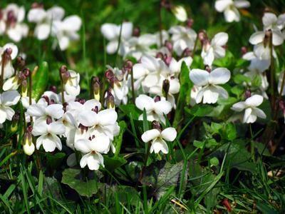 Violettes odorantes, des fleurs au parfum unique | Pétales, Le ...