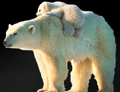 Polar bears are dying off. Get so sad thinking of how we treat this spaceship on which we live like parasites. Sorry, the bears do this to me.