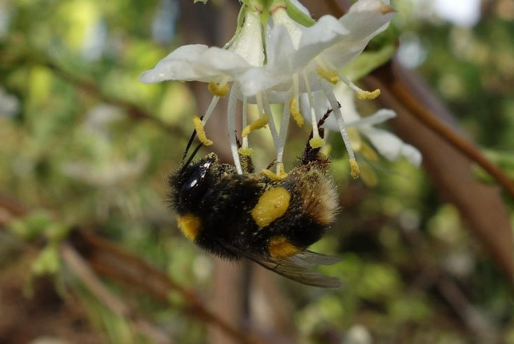 Plants for #pollinators: Winter honeysuckle (Lonicera fragrantissima),scented flowers attract winteractive bumblebees