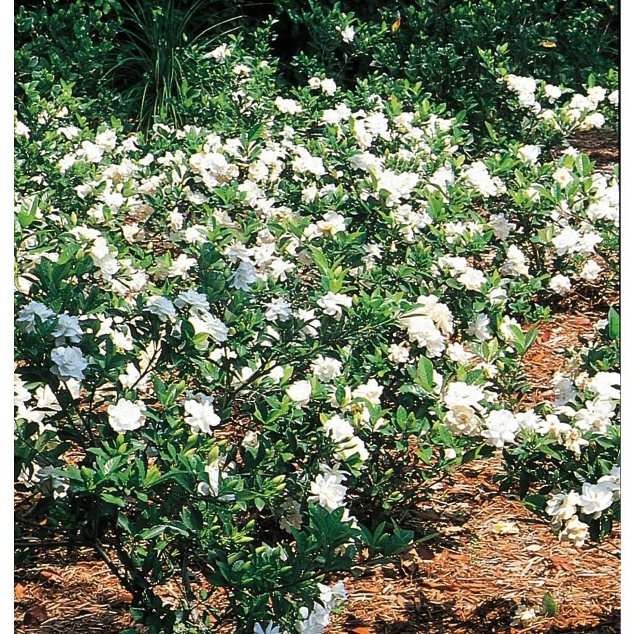 Shop Quart White Gardenia L5150 At Lowes Com Flowering Shrubs
