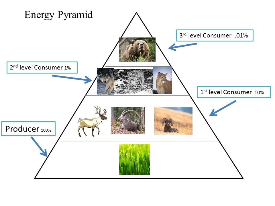 Energy Pyramid Percentages This shows how ...