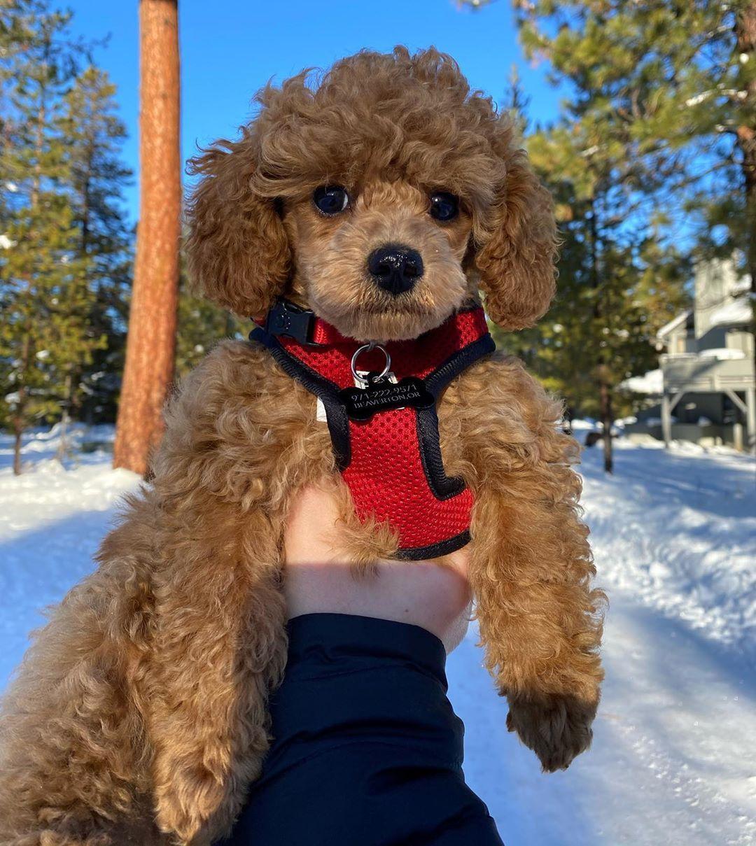 My little teddy bear 🐻 #emmett #emmettthetoypoodle #toy #toypoodle #poodle #poodlelife #poodlesofinstagram...