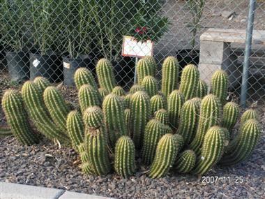 Argentine giant cactus trichocereus candicans hijuelo for Feroxcactus chile