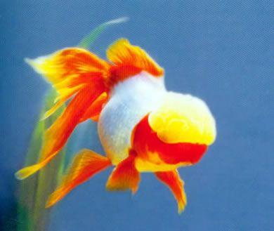 Yellow Capped Oranda Oranda Goldfish Goldfish Beautiful Fish
