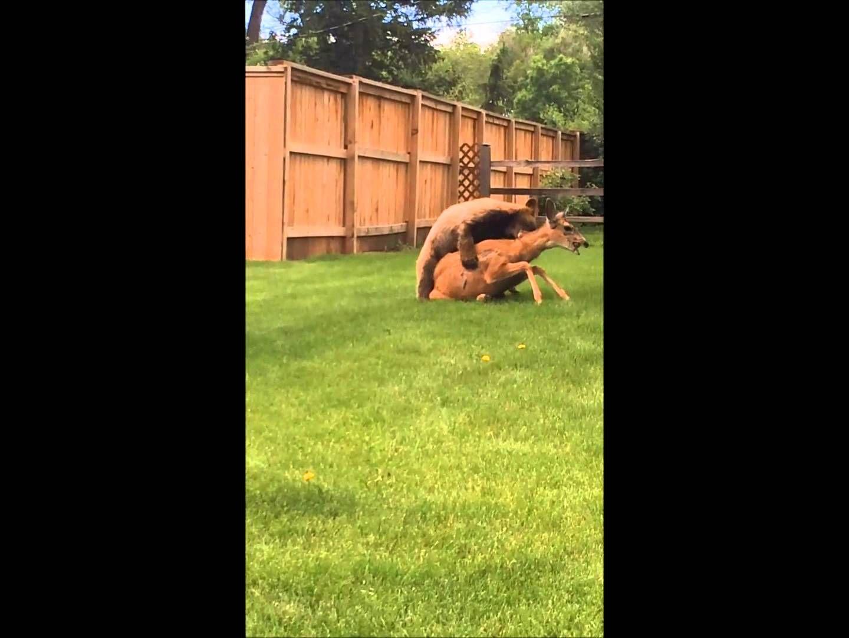 Bear Kills Deer In Residential Neighborhood Black Bear Attacks Bear Attack Deer