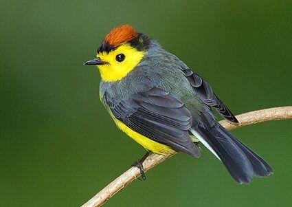 Collared Redstart... Myioborus torquatus