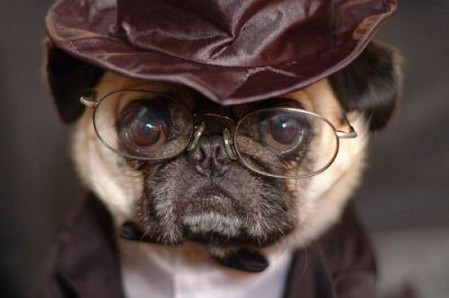 Detective Dog Pug Facts Pugs Funny Cute Pugs