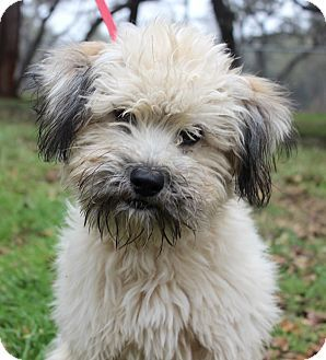 Pictures Of Larson A Border Terrier X2f Poodle Miniature Mix