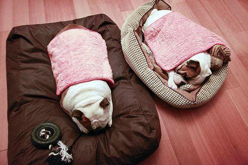 Bulldogs w/ blankets <3
