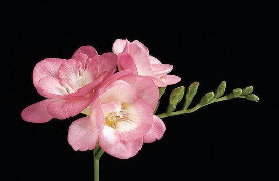 Fantastic freesia flowers 4 gorgeous varieties to plant flowers pink fountain freesia mightylinksfo