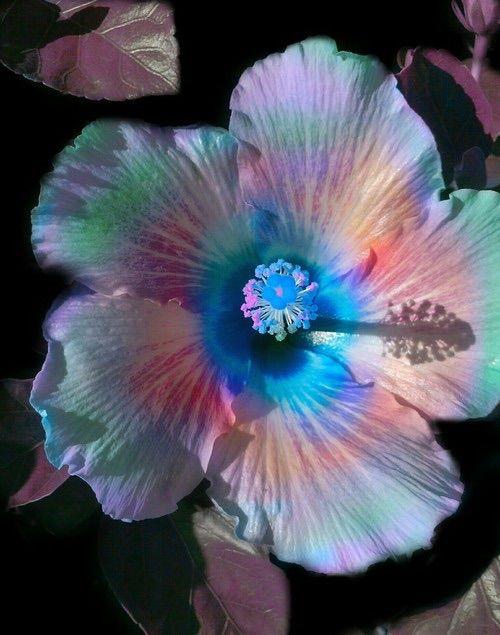 Pin De Sreedevi Devineni Em Fℓowyers Flores De Hibisco Hibisco Orquideas