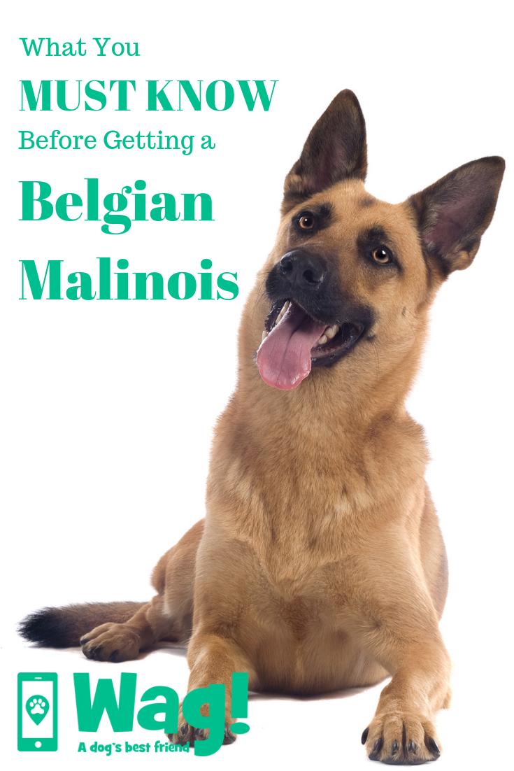 Belgian Malinois Malinois Dog Dog Names German Dog Commands