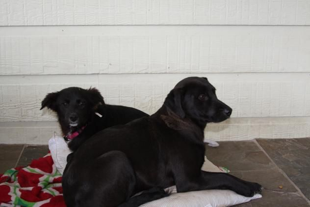 Adopt Lab Border Collie 5 Month Old Puppies On Petfinder Border Collie Puppies 5 Month Olds