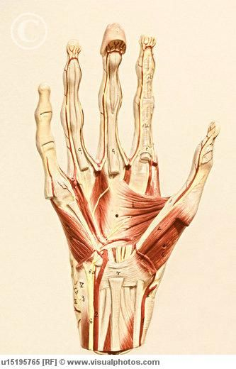 Muscles In The Palm Of The Hand Hypothenar Eminence Mid Palm Group