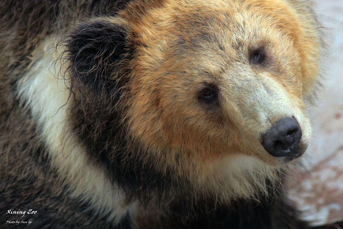 Tibetan Blue Bear