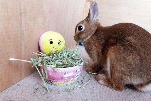 Ichigo san 491 いちごさんうさぎ rabbit bunny netherlanddwarf brown ichigo ネザーランドドワーフ ペット いちご うさぎ