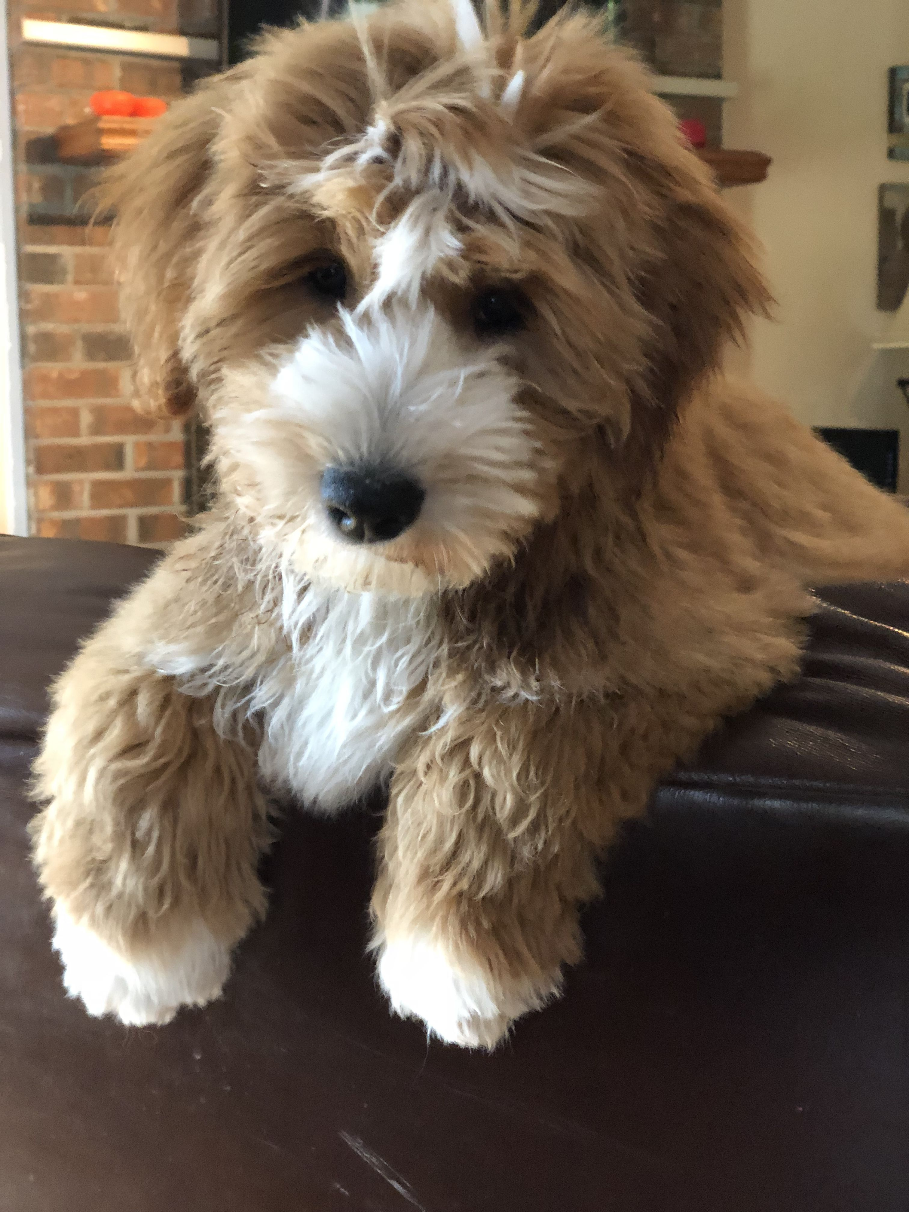 Red White Tuxedo Goldendoodle Puppy Candy Doodles Maddi Candydoodles Goldendoodles Com Cuddly Animals Beautiful Dogs Pet Care Dogs