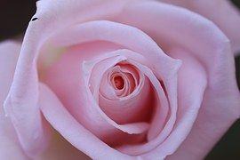 Rose, Pink, Up, Close, Isolated