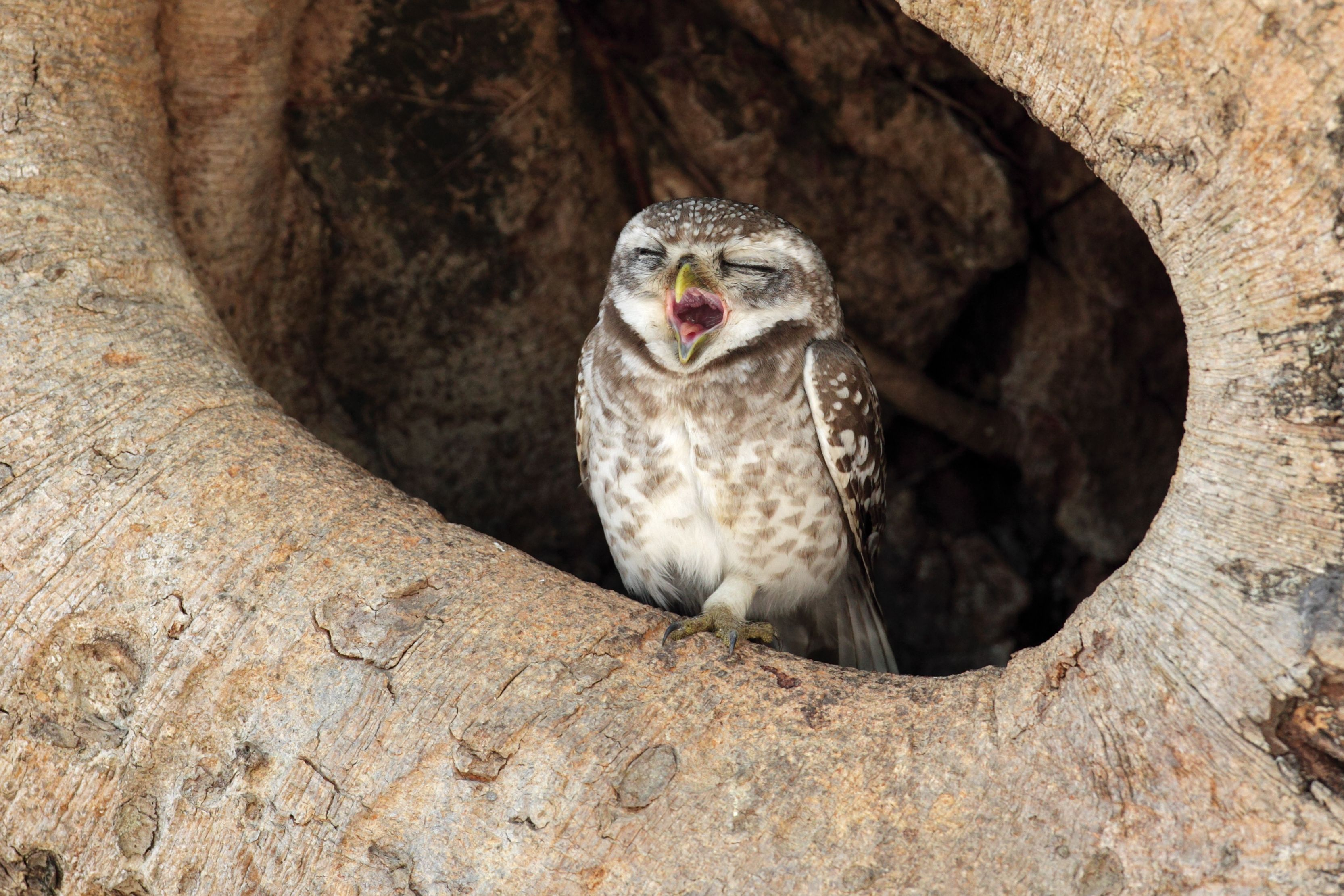 yawing owlet at Kanha National Park.An owl is considered