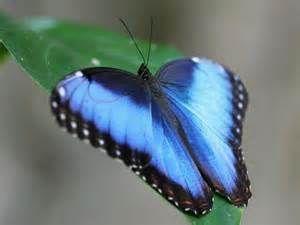 blue morpho - Ecosia