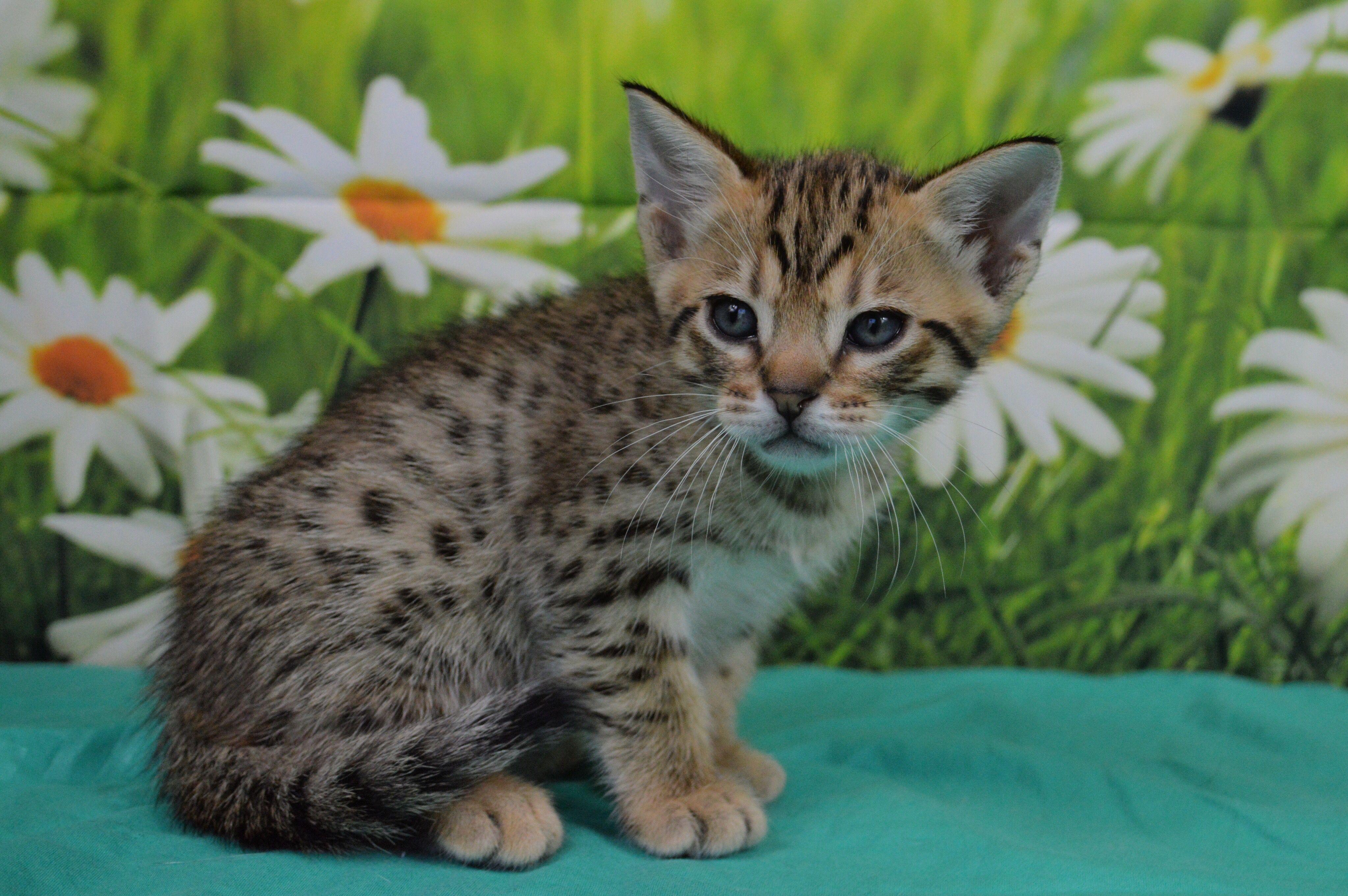 Tawny Spotted Ocicat Kitten Ocicat Kitten Animals