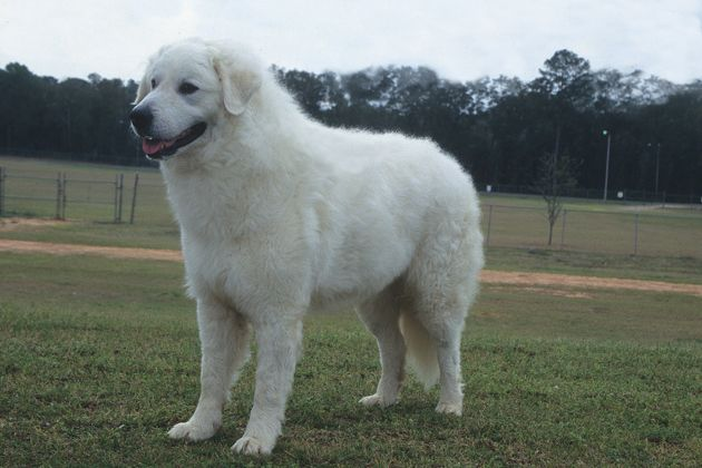 13 Largest Dog Breeds Towering And Commanding With Images