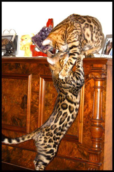 Bengal Cats Playing Together Bengal Cat Bengal Cat Kitten Beautiful Cats