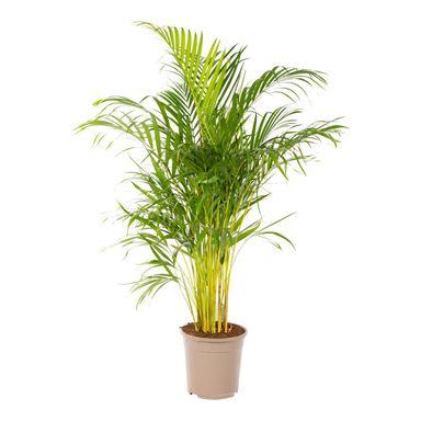 Areka 140 150 Cm Kwiaty Doniczkowe W Atrakcyjnej Cenie W Sklepach Leroy Merlin Plants
