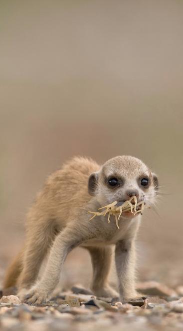Meerkat pup munching on a scorpion. credit: Paul Souders
