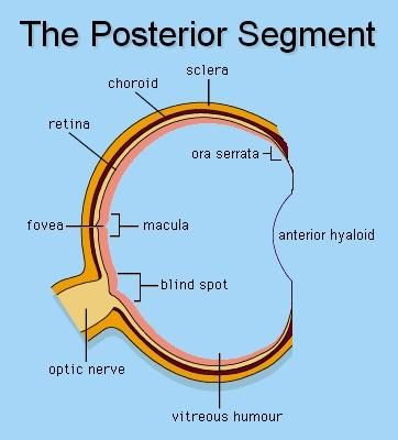 posterior segment - GoogleAnterior And Posterior Segment Of The Eye