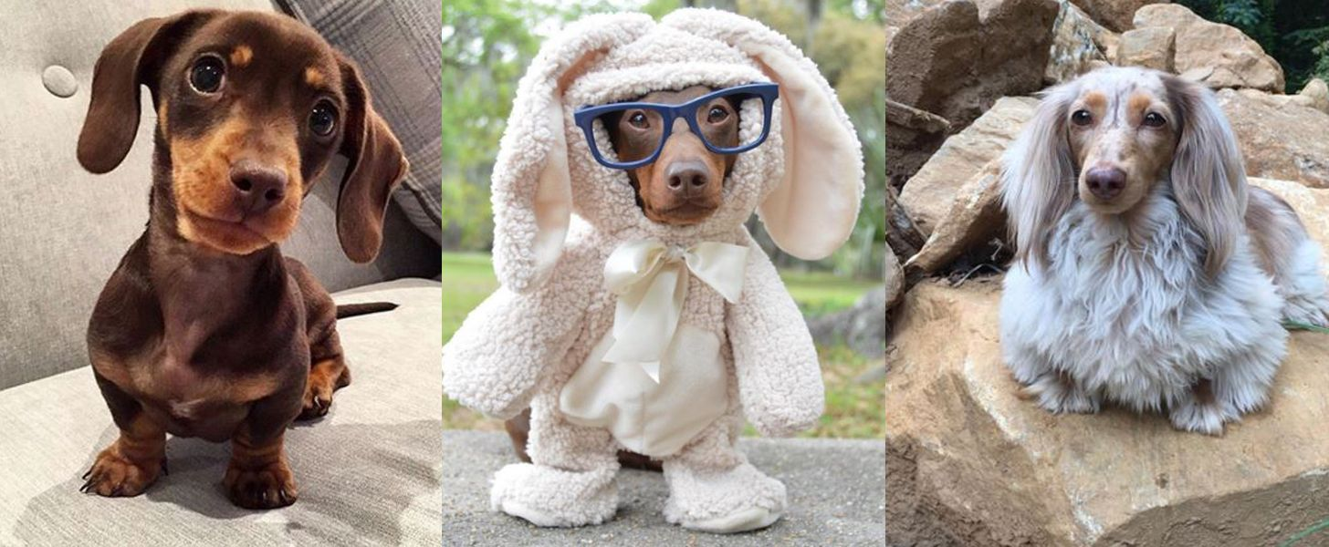 Sausage dogs so cute your heart might actually burst