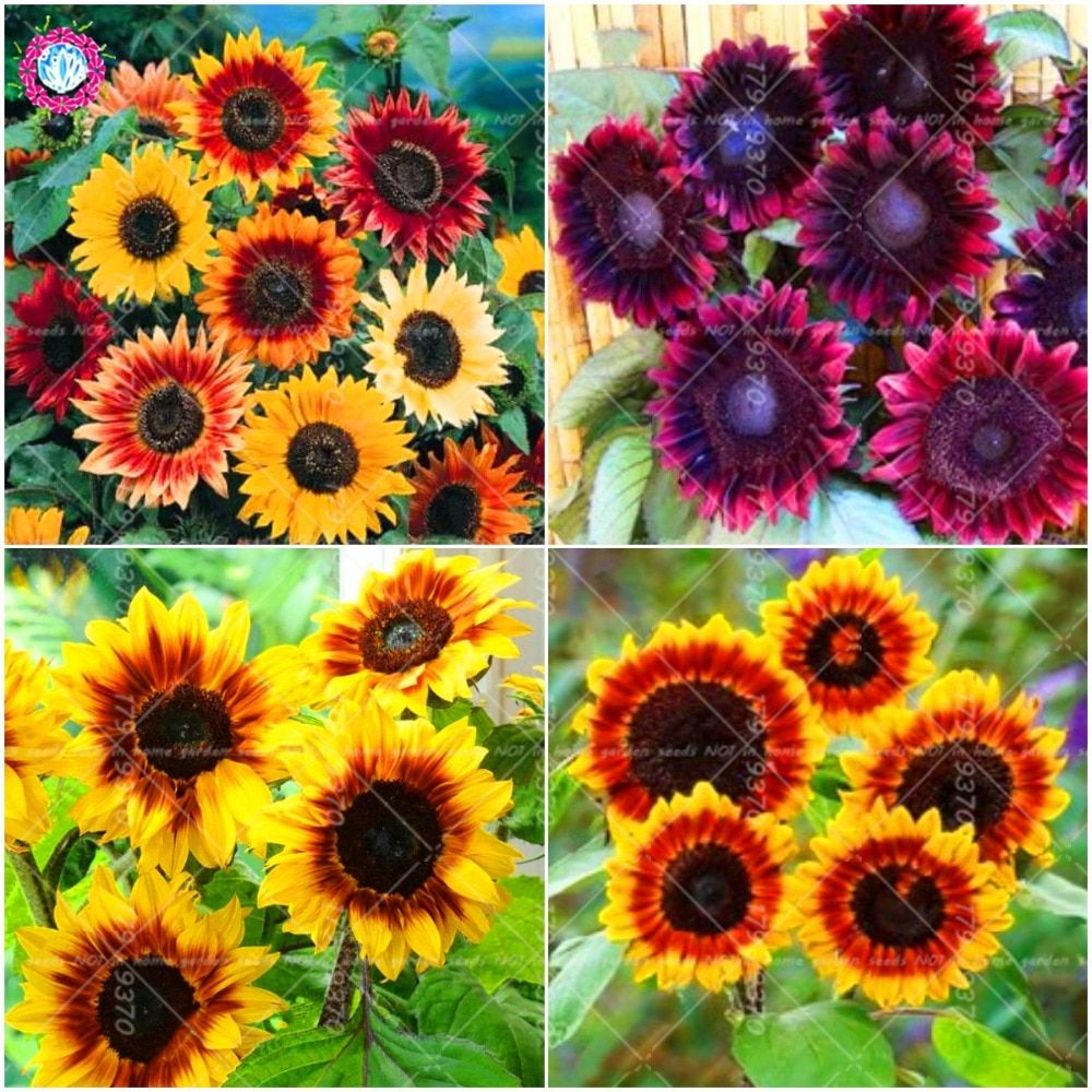 300PCS Amazing Rainbow Color Chrysanthemum Seeds Flower Seeds Easy to Plant