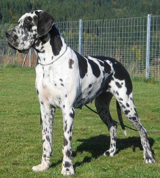 Alano Arlecchino Gorgeous Great Dane Harlequin Great Danes