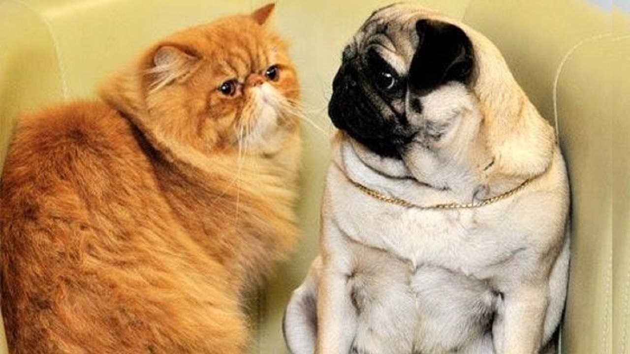 Funny And Cutest Cats Annoying Dogs Compilation Try Not To Laugh