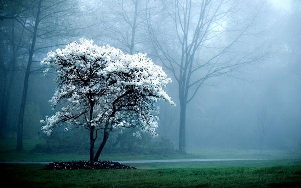 Фото Дерево с белыми цветами в HD качестве | Картины с ...