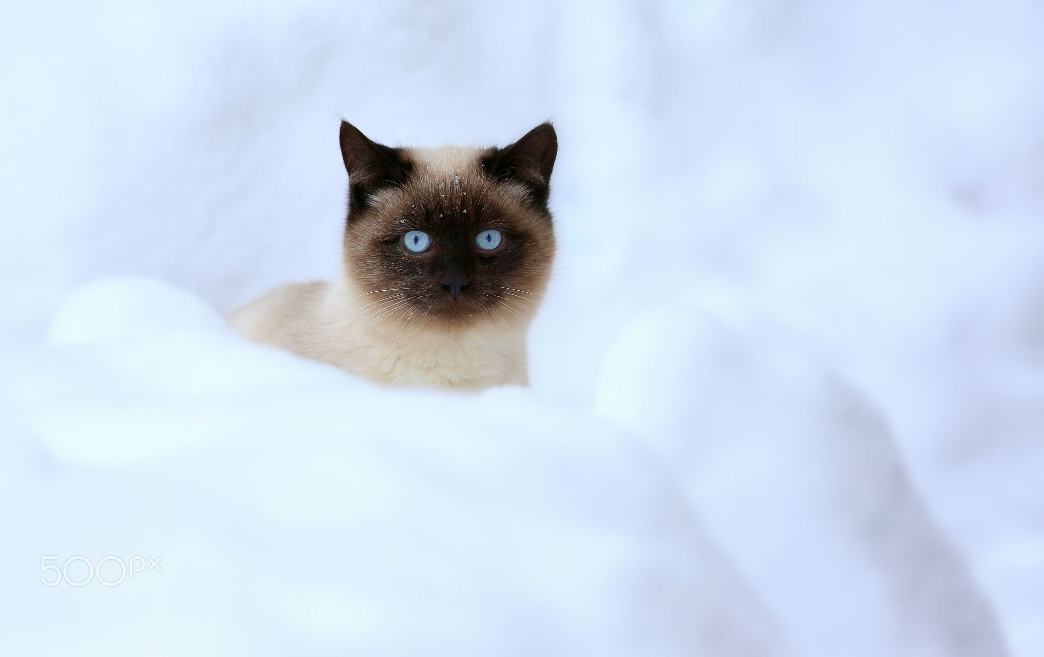 Siamese Cat And Snow Siamese Kitten The First Time Saw Snow Cats Siamese Cats Siamese Kittens Cat Aesthetic