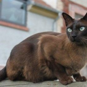 Tonkinese Brown Solid Tonkinese Kittens Tonkinese Cat