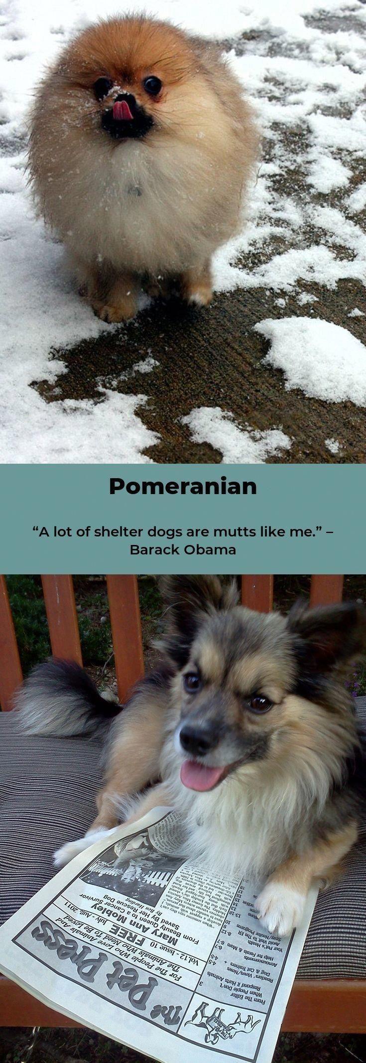 Pommerscher Welpe Pomeranian Pomeranian Pommerscher