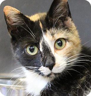 Westampton Nj Calico Meet C 63872 Alana A Cat For Adoption Http Www Adoptapet Com Pet 12876920 Westampton New Jersey Cat Katje