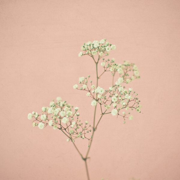 Baby S Breath Flowers Photography Babys Breath Flowers Baby Breath Tattoo
