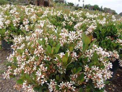Rhaphiolepis Indica Clara Evergreen Nursery Plant Images Border Plants