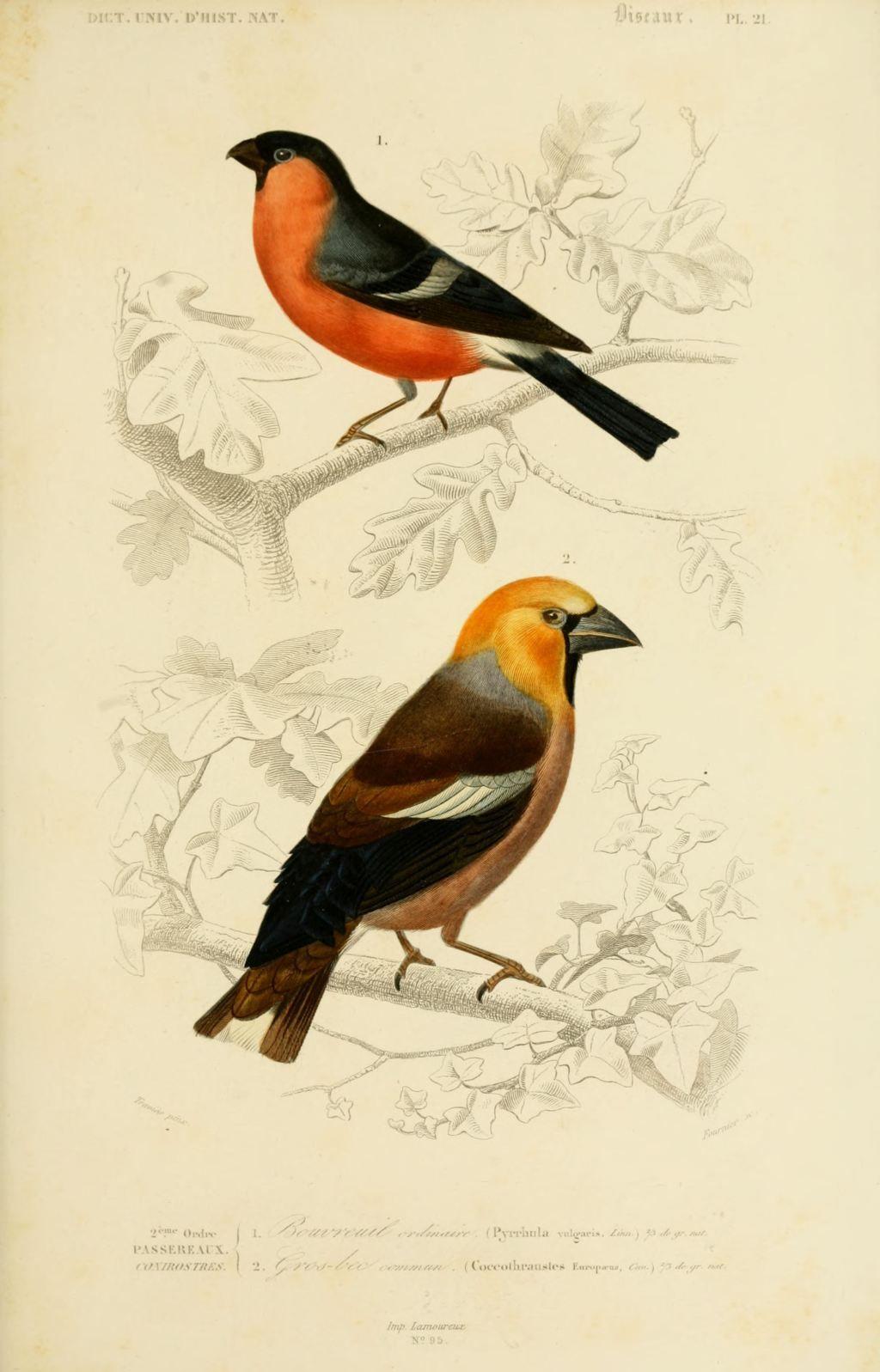 Gravures couleur d 39 oiseaux gravure oiseau 0219 ros bec for Oiseau commun