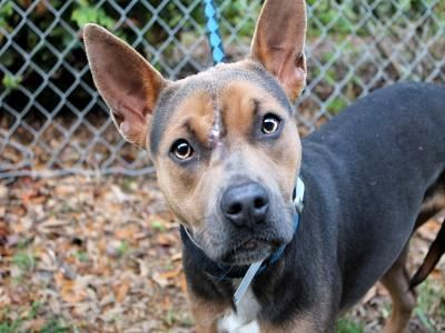 Lily Is A 1 Year Old Australian Cattle Dog Staffordshire Terrier Mix She Is Friendly Faithful And Is Up For Adoption With Our Dog Adoption Animals Pet Care