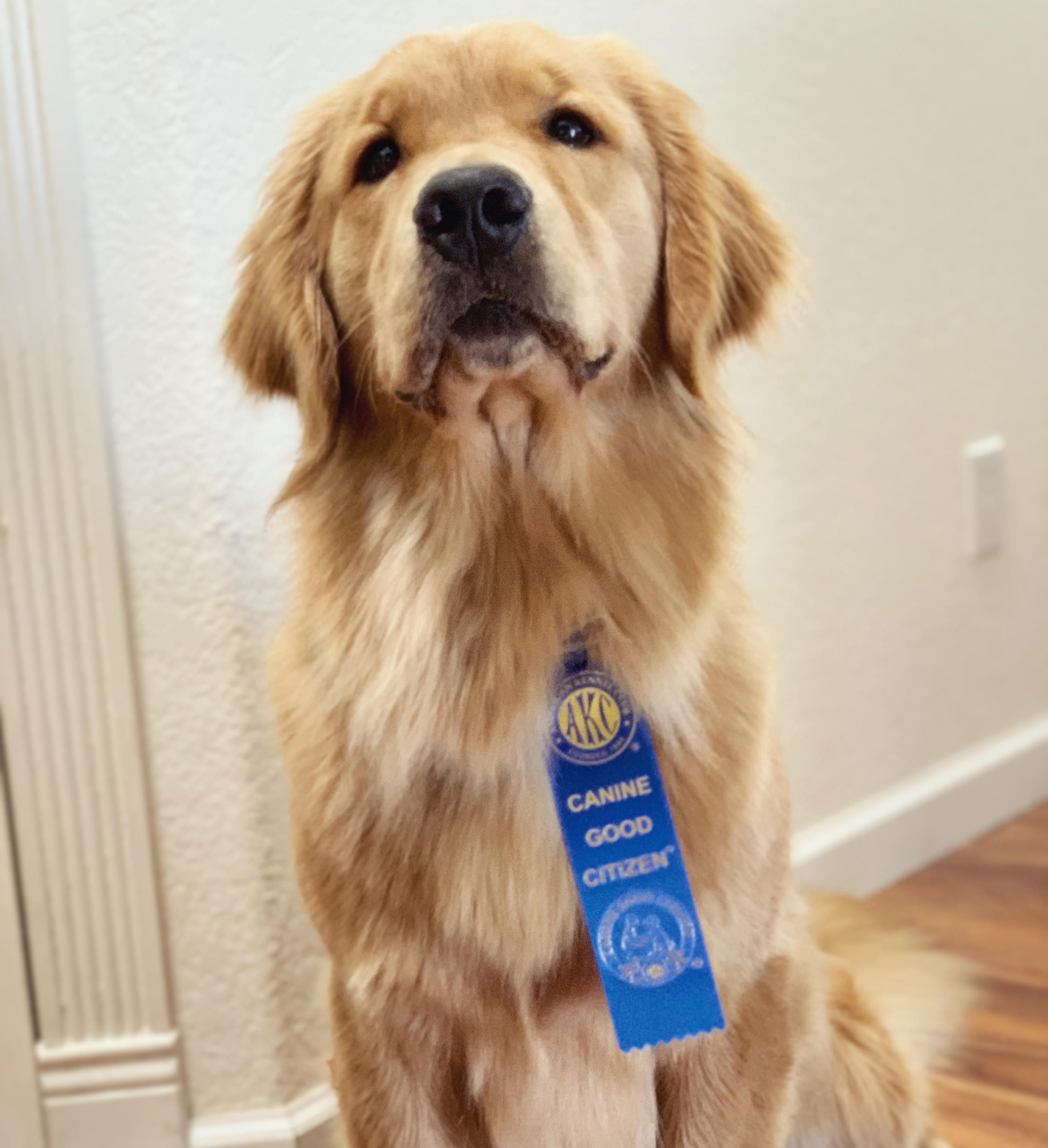 She Passed Her Cgc Test Today Goldenretriever Golden Retriever Golden Retriever Girl Big Dogs