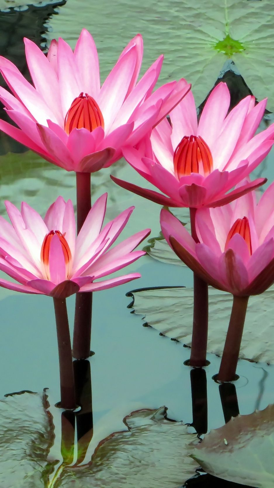 Download Lotus, water lily Wallpapers and beautiful high