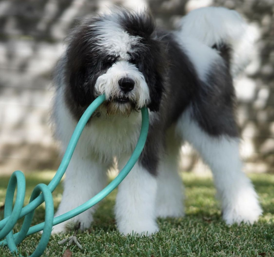 Clyde playing with his new toy. Check us o… Bernedoodle