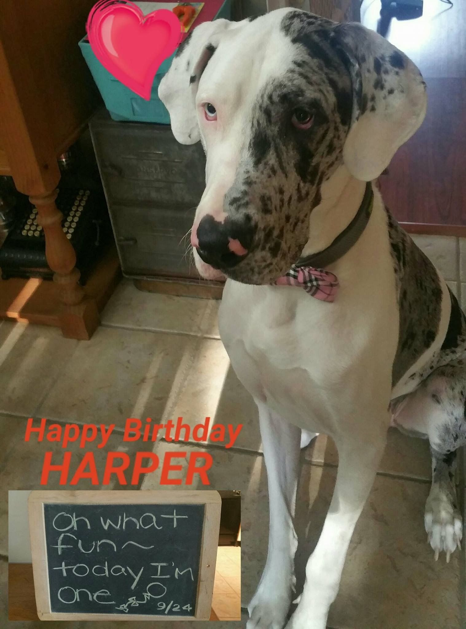 Idea By Jacqueline Russell On Unique Great Dane Color Patterns