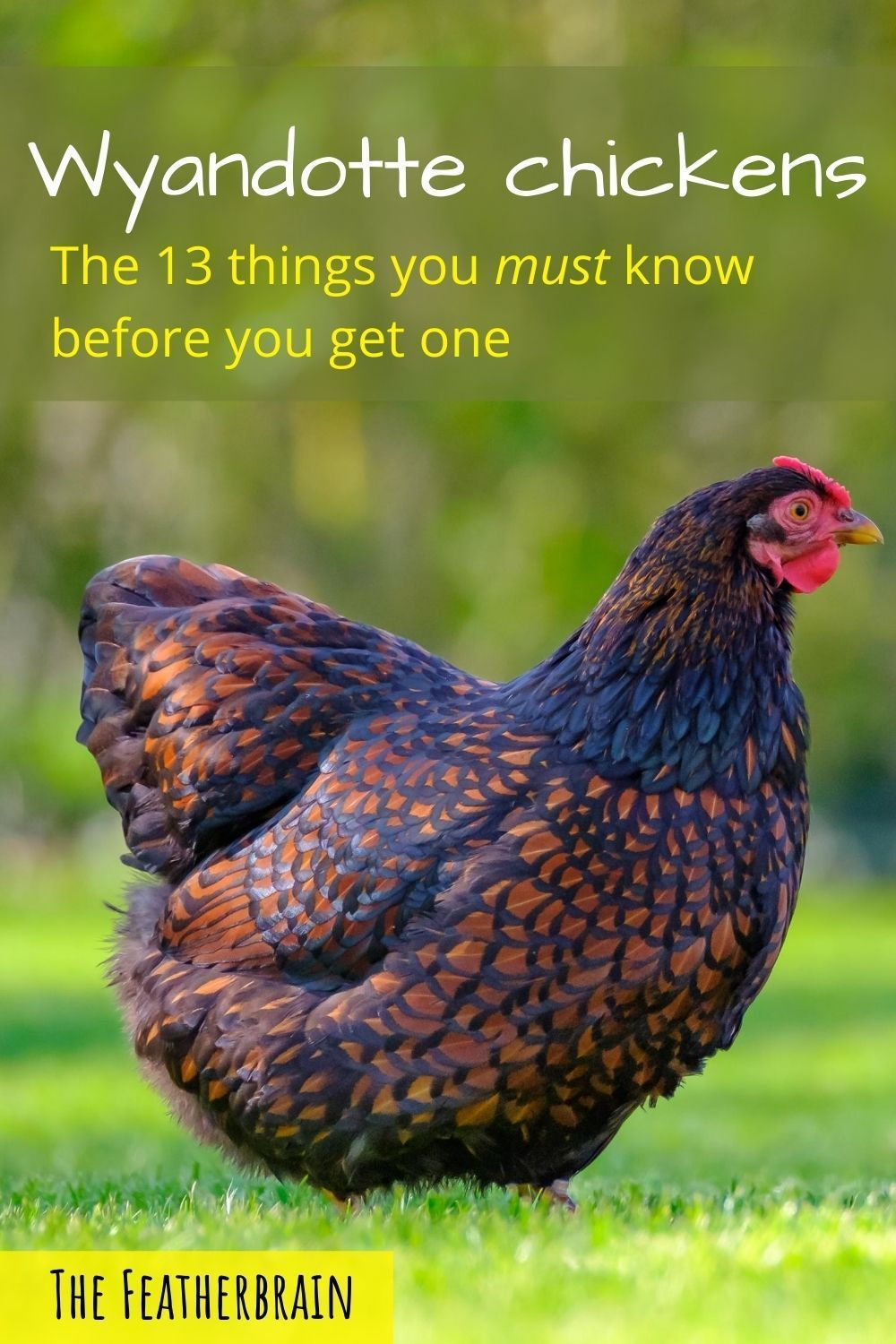 Wyandotte chickens: Everything you need to know